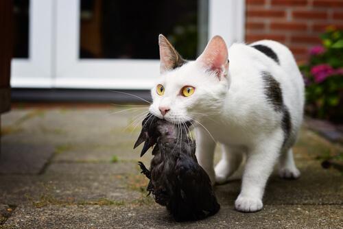 Wie Katzen das Jagen erlernen: es ist nicht unumstritten