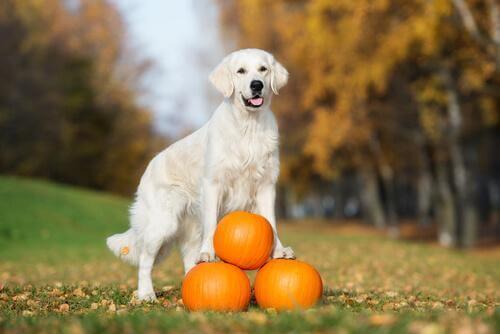 Vorteile von Kürbis in der Hundeernährung
