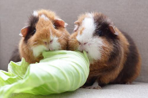 Wissenswertes über Meerschweinchen: sie brauchen viel Vitamin C.