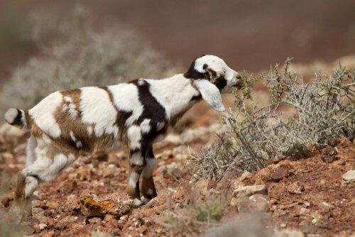 Die Ziegen von Fuerteventura