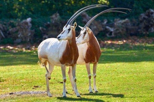 Zwei weiße Säbelantilopen