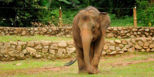 Kleinwuchs bei Elefanten