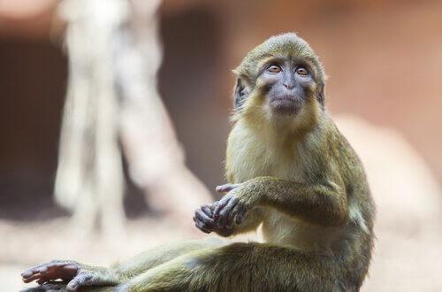Zwergmeerkatze: Merkmale, Verhalten und Lebensraum