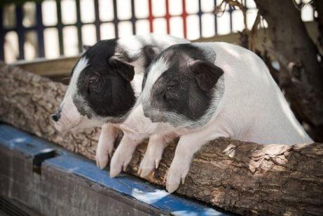 Zwergwuchs bei Schweinen