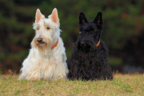4 schottische Hunderassen: vielseitig und einzigartig!