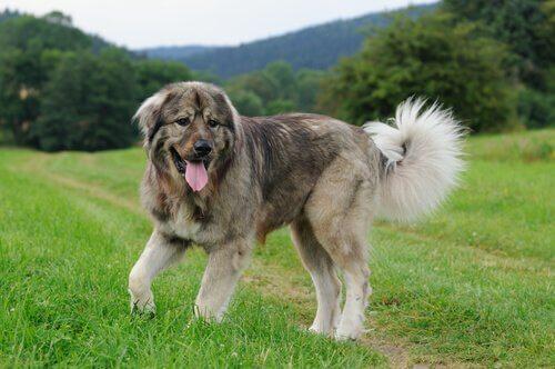 Der Kaukasische Owtscharka: Rasseporträt eines geselligen, treuen Hundes
