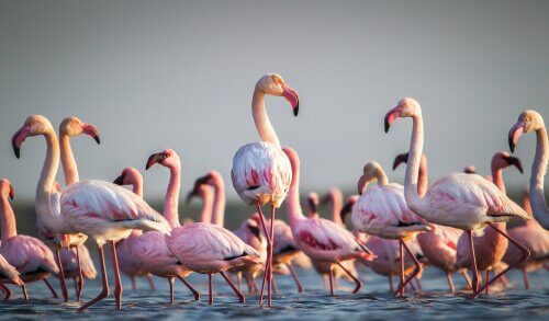 Kuriositäten über Flamingos