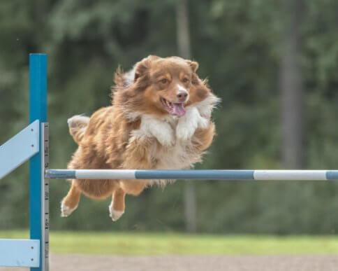 Agility für Hunde: Training und Ernährung