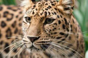 Amurleopard zum Aussterben verurteilt