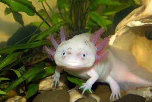 Axolotl: ein exotisches und außergewöhnliches Haustier!