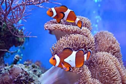 Fische für dein Aquarium: Clownfische
