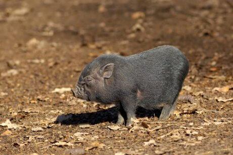 Das vietnamesische Hängebauchschwein ist ein beliebtes Haustier