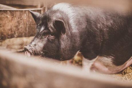 Das vietnamesische Hängebauchschwein