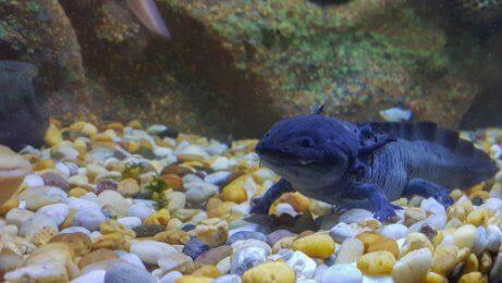 Den Axolotl als Haustier