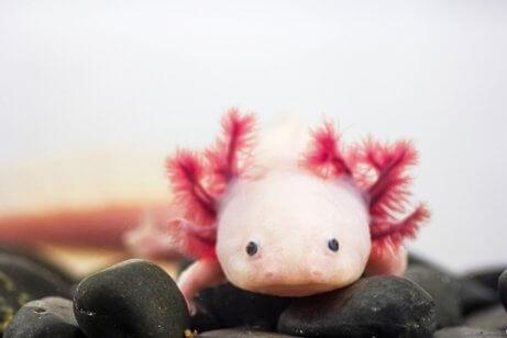 Den Axolotl gibt es in verschiedenen Farben