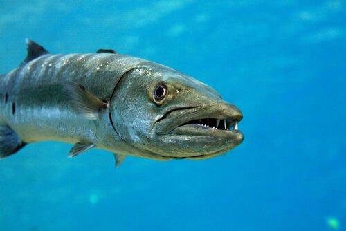 Der Barrakuda, ein aggressiver und unberechenbarer Fisch