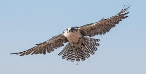 Der Falke, ein imposanter und artenreicher Raubvogel