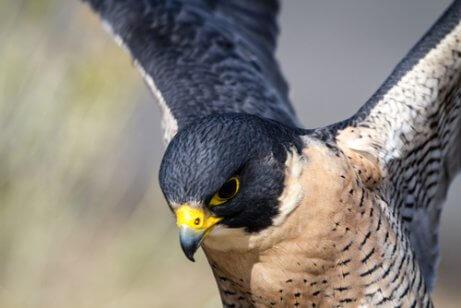 Der Falke hat ein enormes Sehvermögen