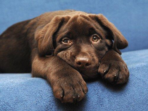 Der schokoladenfarbene Labrador hat eine kürzere Lebensdauer
