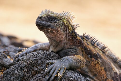 Die beeindruckende Meerechse der Galapagos-Inseln