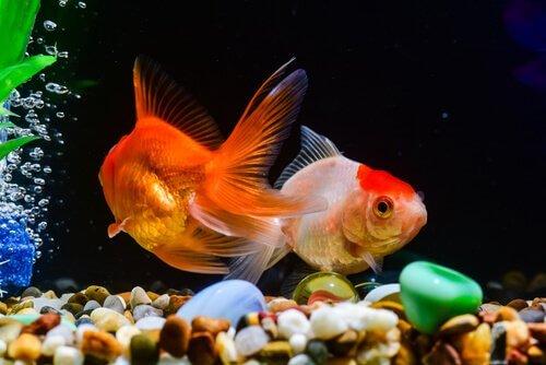 Fütterung der Goldfische