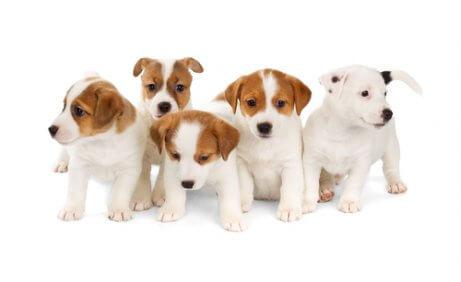 Inzucht bei Hunden beeinflusst die Lebensdauer