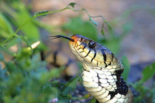 Jacobson-Organ bei Schlangen
