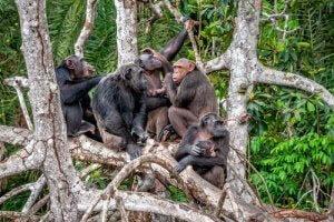 kulturelle Vielfalt von Schimpansen bedroht