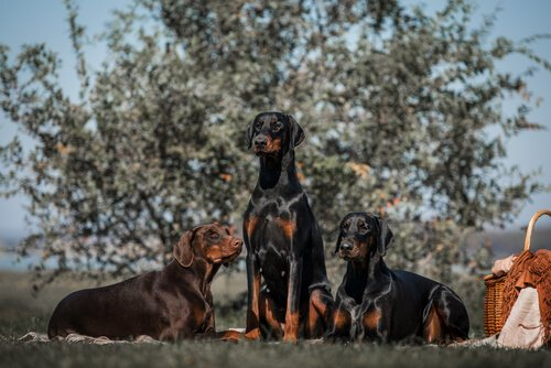 Listenhunde: Dobermann