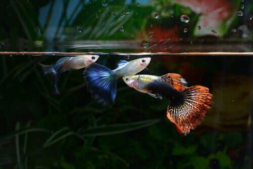 Guppy Fische für dein Aquarium