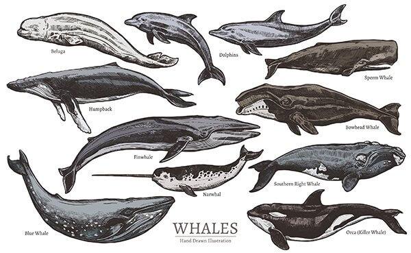 Meeressäugetiere: Klassifikation und Arten