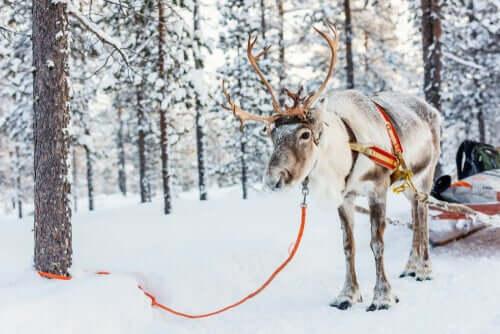 Rentiere ziehen nicht nur Santa Claus Schlitten
