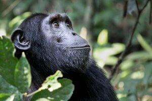 kulturelle Vielfalt der Schimpansen