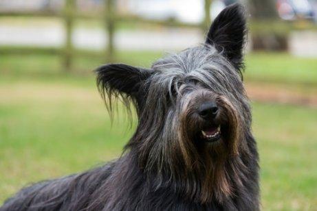 Schottische Hunderassen: Skye Terrier