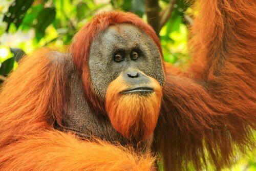Sumatra-Orang-Utan: Eigenschaften und Situation