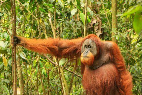Sumatra-Orang-Utan: Ernährung