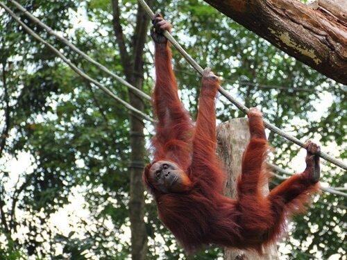 Sumatra-Orang-Utan: Merkmale