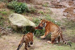 der Südchinesische Tiger ist zum Aussterben verurteilt