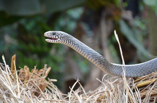 Vomeronasales Organ der Schlange