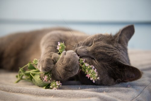 Was ist Katzenminze und warum macht sie Katzen verrückt?