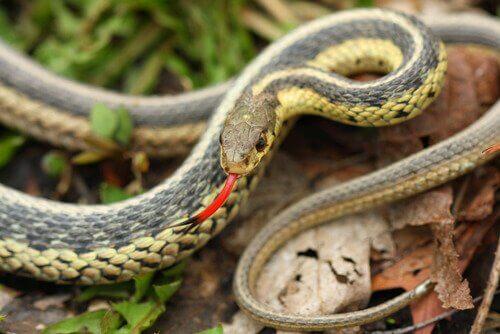 Züngelnde Schlange