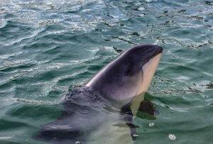 Schweinswal zum Aussterben verurteilt