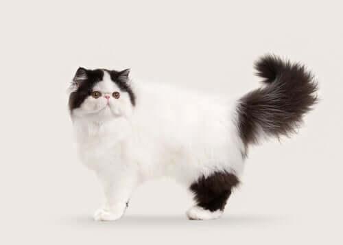 10 langhaarige Katzenrassen: gesellig und ausgeglichen
