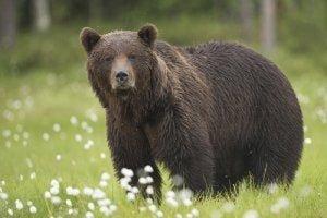 Bären als Wildtiere in Spanien