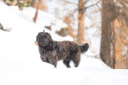 Bergamasker Hirtenhund im Schnee