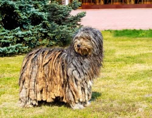 Bergamasker Hirtenhund: ein Hund, der Herden leitet und schützt