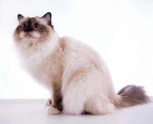 Birma-Katze