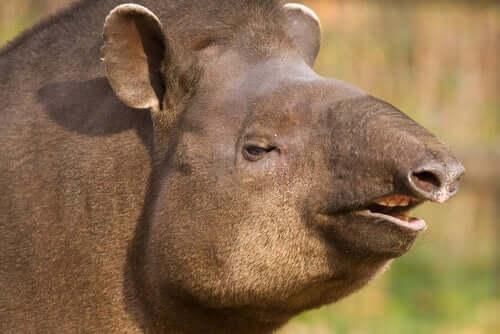 Brasilianischer Tapir, ein Verwandter des Nashorns