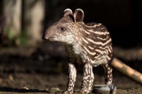 Brasilianischer Tapir
