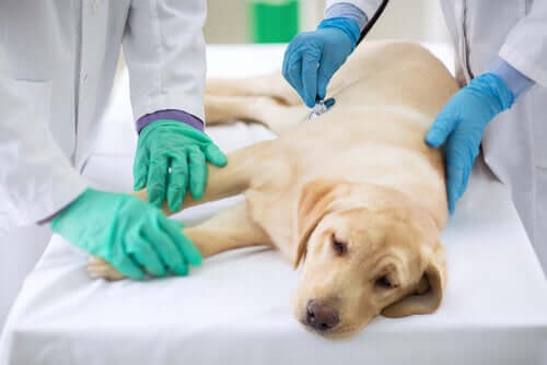 Canine Demodikose: Behandlung